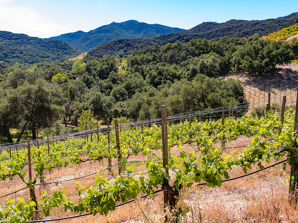 Grape Vines growing in the Malibu hills